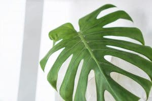 Swiss cheese plant leaf