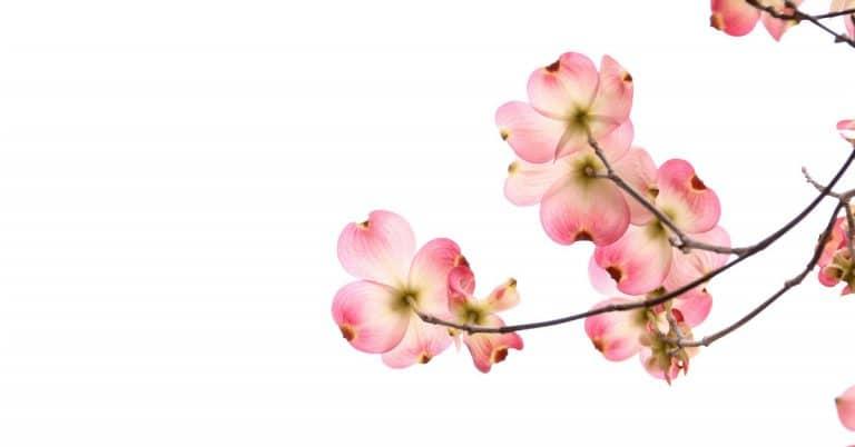 blooming dogwood flowers